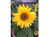 Some Dwarf mini sunflowers plants( £1 for 3 plants)