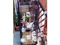 zebra finches lot of 11