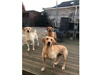 Excellent KC Registered pedigree puppies red and yellow