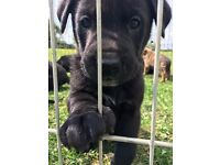 Presa Canario x German Shepherd Puppies