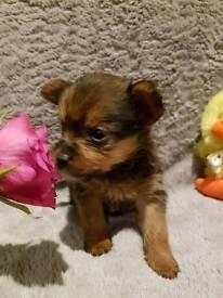 Yorkshire terrier x Pomeranian girls