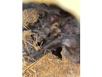 Superb first cross Deerhound lurcher pups !