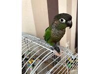 8 months old green cheek conure