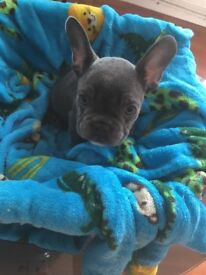 I have six beautiful French bulldog puppies 4girls 2 boys