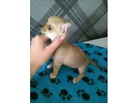 Chihuahua Puppies Ready For Their Forever Loving Homes