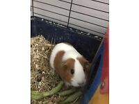 2 adorable female guinea pigs for adoption (includes ALL necessities)