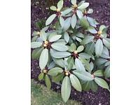 BEAUTIFUL RHODODENDRON FOR SALE