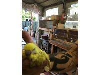 super hand tame baby budgies