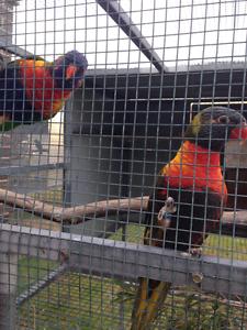 Rainbow lorikeet sf/fallow pied breeding pair have had 2 nests Warrnambool Warrnambool City Preview