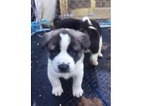 American Japanese Akita Puppies Puppy For Sale !