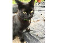 Missing Black, short haired cat.