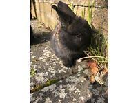 Cute baby rabbits ,mini lop