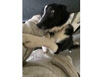 Oreo border collie puppy