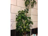 GORGEOUS PLANT
