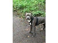 Blue Staffordshire Bull Terrier For Sale