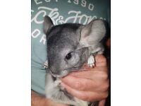 Female chinchilla