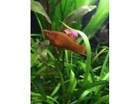 Tropical Livebearer Red Swordtail (Xiphos Helleri) Fish £1 / £2