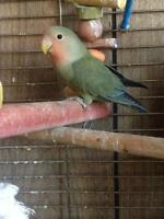 Beautiful lovebird<3