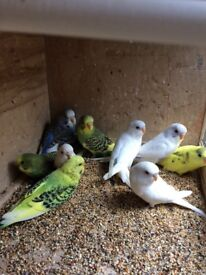 Beautiful Budgies, 2 new unused cage for extra cost