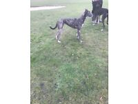 Saluki whippet greyhound