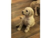 Beautiful Goldendoodle Puppies
