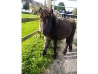 6th month old black shetland colt