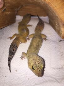 3x female Leopard Gecko's & 3ft viv