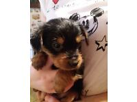 Male Yorkshire terrier puppy .Both parents can be seen