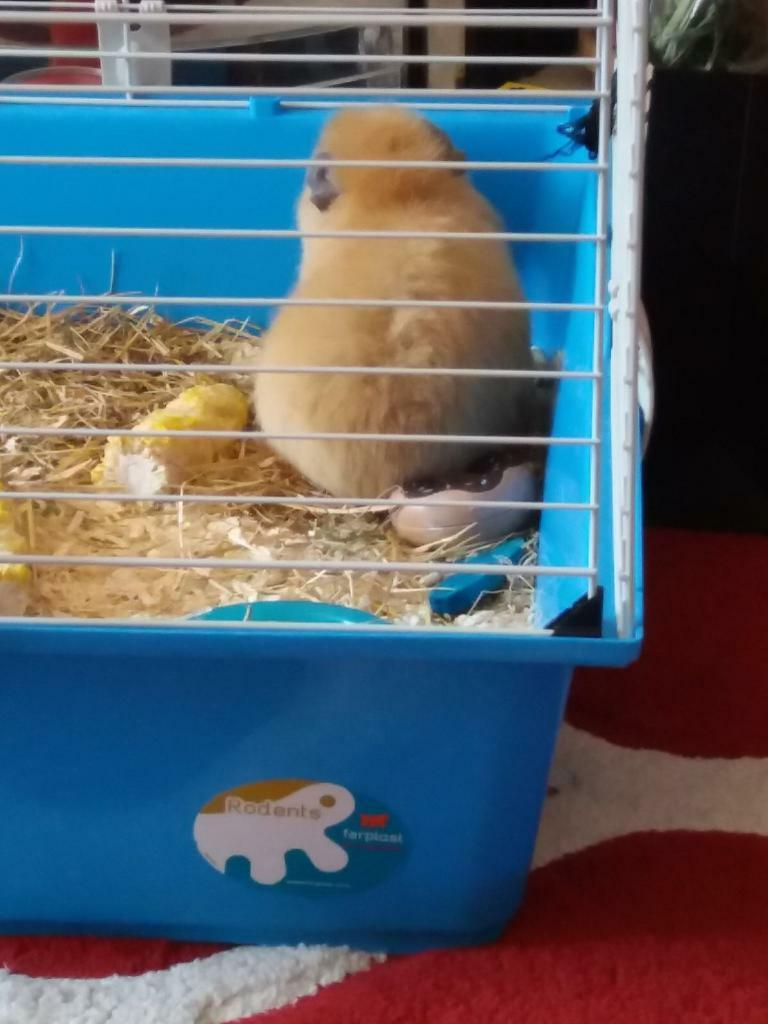 2 beautiful male guinea pigs with all accessories