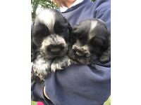 Show Cocker Spaniel Puppies Blue Roan KC Reg
