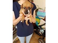 Staff / Staffy cross puppy boy 10 weeks old, looking for forever home
