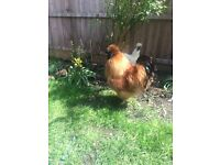 Silkie cockerel free to a good home