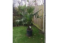 PRICE REDUCED, LAST 1 LEFT! Spectacular Trachycarpus Fortunei Palm Tree in a lovely large Pot