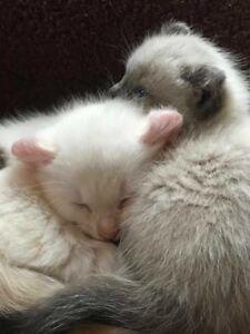 Exotic Highland Lynx Cross Kittens!