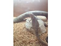 1 year old male bearded dragon