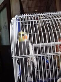2 cockatiels with cages.