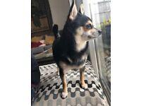 Female Chihuahua For Sale
