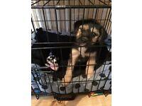 11 Week old Puppy Terrier