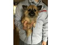 KC reg long coat chihuahua girl