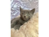 Stunning 4 Russian Blue cross kittens with medical history