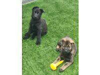 TWO KC REGISTERED GERMAN SHEPERD PUPPIES