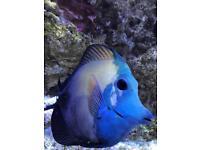 Marine Tri tang fish