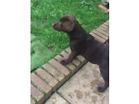 Labrador retriever girl