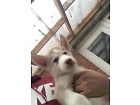 GORGEOUS SIBERIAN HUSKY PUPPY FOR SALE! 230 ONO!