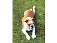 LAST ONE English Bulldog