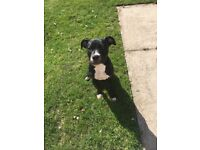 Staffy pup for sale