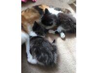 Kittens long haired