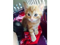 Stunning ginger kitten for sale