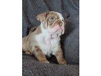 English bulldogs amazing litter! Top bloodline