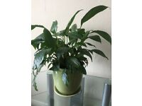 Healthy house plant